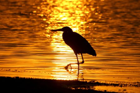 wade: Great Blue Heron (Ardea Herodias) reflected against the rising sun in the Florida Everglades Stock Photo