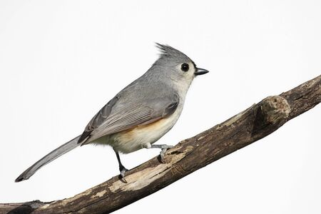 tufted: Tufted Titmouse (Baeolophus bicolor) on a stump - Isolated on a white background