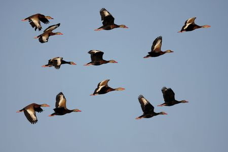 Flock of Black-bellied Whistling-ducks (Dendrocygna autumnalis) in flight over the Florida Everglades