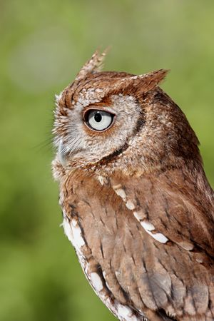 megascops: Close-up of an Eastern Screech-Owl (Megascops asio) with a green background Stock Photo