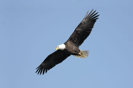 Adult Bald Eagle (haliaeetus leucocephalus) in flight against a blue sky Stock Photo