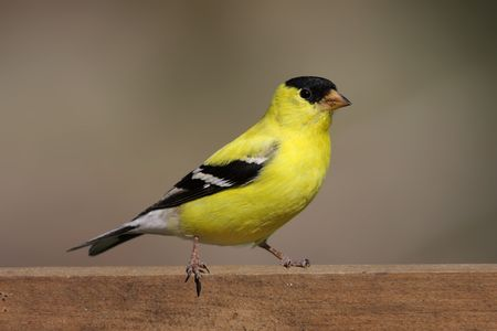 American Goldfinch (Carduelis tristis) on a fence with a brown background photo
