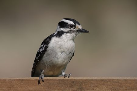 downy woodpecker: Downy Woodpecker (Picoides pubescens) on a fence with a brown background