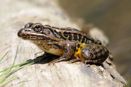 Pickerel Frog (Rana palustris) sunning in spring Stock Photo - 4741401