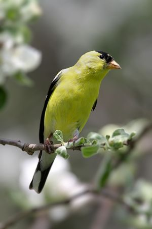 American Goldfinch (Carduelis tristis) in an Apple Tree that is flowering in Spring
