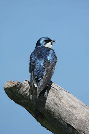 Tree Swallow (tachycineta bicolor) on a stump with a blue sky background 版權商用圖片