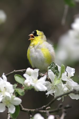 American Goldfinch (Carduelis tristis) in an Apple Tree that is flowering in Spring photo