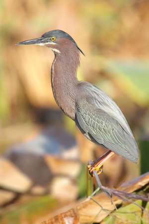 Green Heron (Butorides virescens) in the Florida Everglades 版權商用圖片
