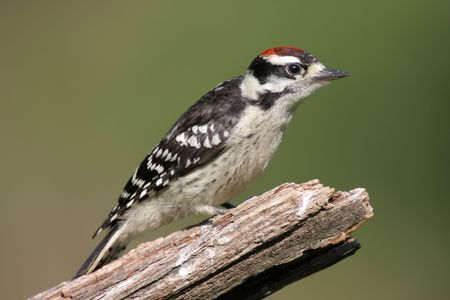 downy woodpecker: Downy Woodpecker (Picoides pubescens) on a stump with a green background