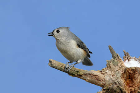 Tufted Titmouse (baeolophus bicolor) on a stump with a blue sky background 免版税图像