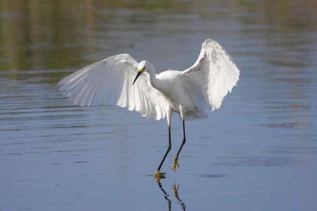 Snowy Egret (Egretta thula) in flight in the Florida Everglades 版權商用圖片