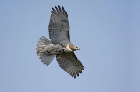 redtail: Red-tailed Hawk (buteo jamaicensis) flying against a blue sky Stock Photo