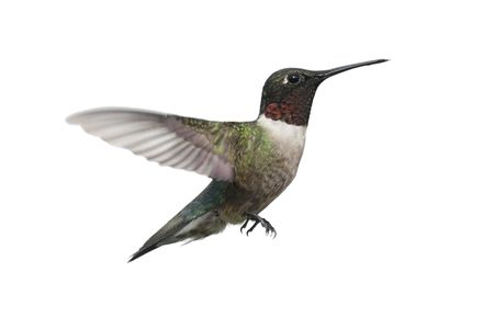 Male Ruby-throated Hummingbird (archilochus colubris) in flight isolated on a white background Stock Photo - 4824689