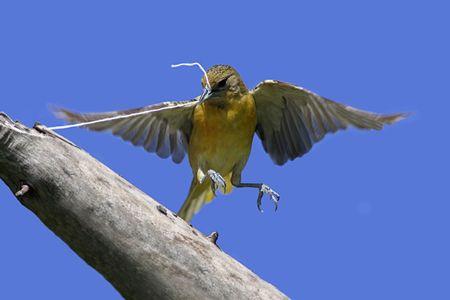oriole: Baltimore Oriole (Icterus galbula) gathering string to build a nest