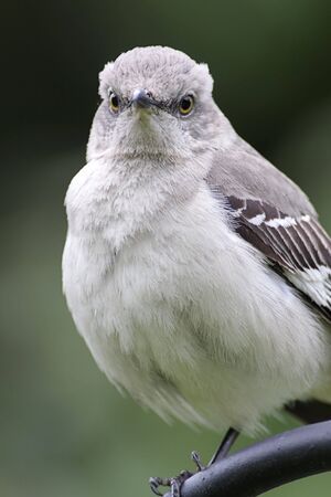 mockingbird: Northern Mockingbird (Mimus polyglottos) on perch in spring