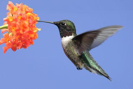 colibries: Ruby-throated Hummingbird (Archilochus colubris) en vuelo sobre la alimentación de una flor