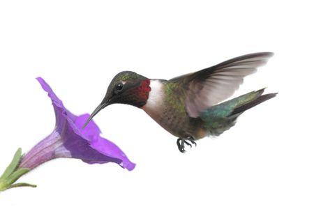 colibries: Hombres Ruby-throated Hummingbird (Archilochus colubris) en un vuelo con flores aisladas sobre fondo blanco