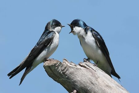 Paar Tree zwaluwen (tachycineta bicolor) over een stomp Stockfoto