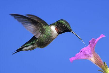 colibries: Hombres Ruby-throated Hummingbird (Archilochus colubris) en vuelo con una flor morada y un cielo azul de fondo