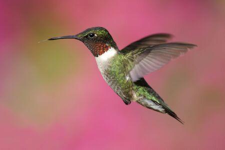 colibries: Ruby-throated Hummingbird (Archilochus colubris) con una colorida flor de fondo Foto de archivo