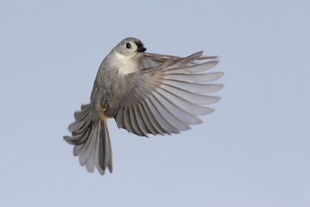 Tufted Titmouse (baeolophus bicolor) in flight Stock Photo