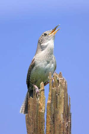 troglodytes: House Wren (troglodytes aedon) singing on a stump with a blue sky Stock Photo