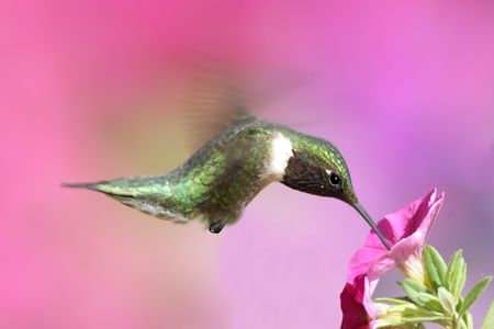 Male Ruby-throated Hummingbird (archilochus colubris) in flight with a purple flower and a floral background Stock Photo