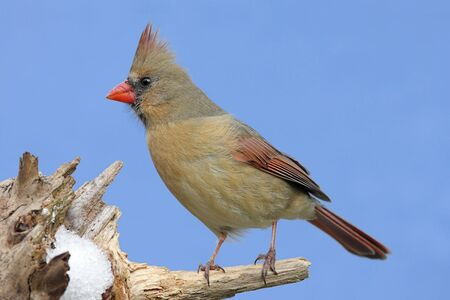 Female Northern Cardinal (cardinalis cardinalis) on a stump with snow and a blue sky background