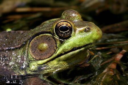 grenouille verte: Green Frog (Rana clamitans) soleil dans un �tang