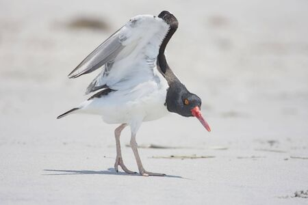 American Oystercatcher (Haematopus palliatus) displaying in spring on the beach Stock Photo - 4970597