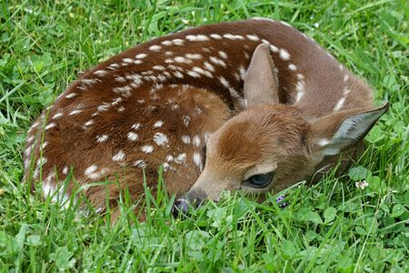 virginianus: White-tailed Deer (Odocoileus virginianus) Fawn just a little over an hour old