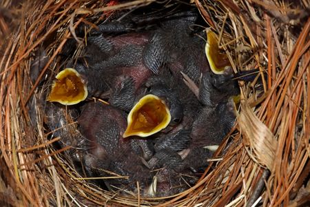 troglodytes: Hungry baby House Wrens (Troglodytes aedon) in a nest begging for food