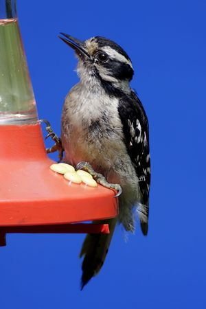 downy woodpecker: Downy Woodpecker (picoides pubescens) on a Hummingbird feeder with a blue sky background Stock Photo