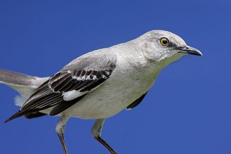 mockingbird: Northern Mockingbird (Mimus polyglottos) with a blue sky background
