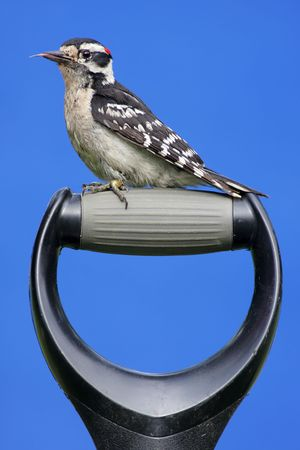 downy woodpecker: Juvenile Downy Woodpecker (Picoides pubescens) on a shovel handle with a blue background Stock Photo