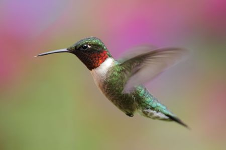 Ruby-throated Hummingbird (archilochus colubris) with a colorful flower background Stock Photo - 5046490