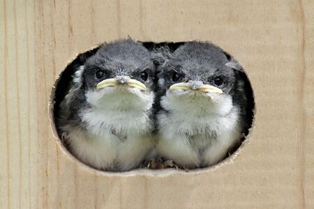 Pair of Baby Tree Swallows (tachycineta bicolor) looking out of a bird house photo