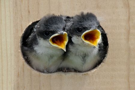 Pair of hungry Baby Tree Swallows (tachycineta bicolor) looking out of a bird house begging for food photo