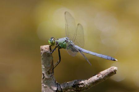 pondhawk: Eastern Pondhawk Dragonfly (erythemis simplicicollis) perched on a stick Stock Photo