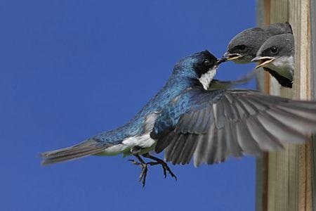 swallow: Tree Swallow (tachycineta bicolor) voederen hongerige baby's