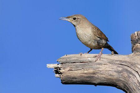 troglodytes: House Wren (troglodytes aedon) perched on a stump with a blue sky