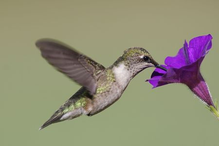 Juvenile Ruby-throated Hummingbird (archilochus colubris) in flight with a purple flower photo