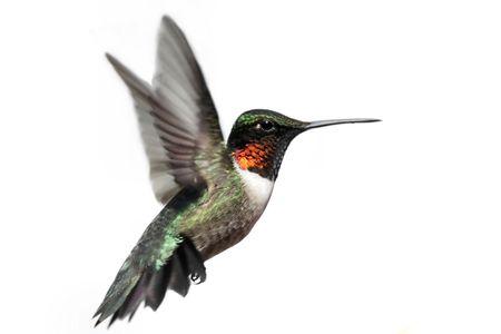 colibries: Hombres Ruby-throated Hummingbird (Archilochus colubris) en vuelo aislado en un fondo blanco