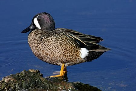 Blue-winged Teal (anas discors) against blue water in the Florida Everglades