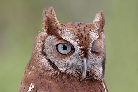 Close-up of an Eastern Screech-Owl (Megascops asio) winking with a green background photo