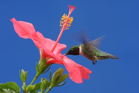 colibries: Hombres Ruby-throated Hummingbird (Archilochus colubris) en vuelo con una flor de hibisco