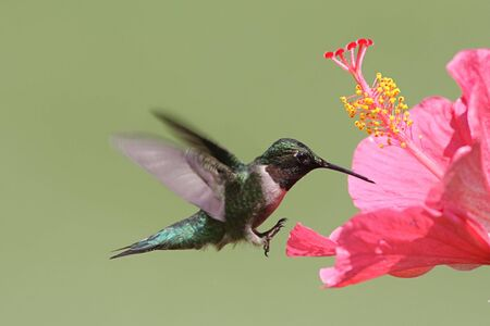 Male Ruby-throated Hummingbird (archilochus colubris) in flight with a Hibiscus flower photo