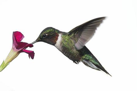 흰색 배경에 고립 된 꽃과 비행에 남성 루비 -throated Hummingbird (archilochus colubris)