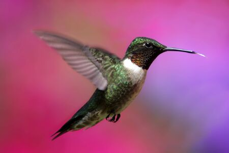 ruby throated: Ruby-throated Hummingbird (archilochus colubris) with a colorful flower background Stock Photo