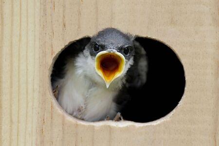 Tree Swallow (tachycineta bicolor) looking out of a bird house